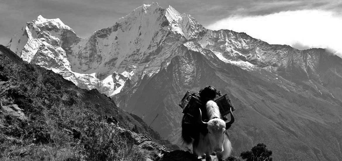 yak trek gokyo everest nepal